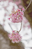 Sakura flowers , Cherry blossom. In the garden Royalty Free Stock Photography