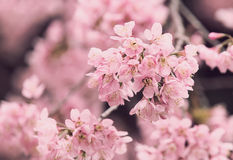 Sakura flowers , Cherry blossom. With vintage Royalty Free Stock Photo