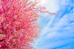 Sakura flowers or cherry blossoms on blue sky background Stock Photo