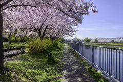 Sakura Flowers. Cherry blossoms gracing the landscape. They are beautiful but lasted only a week Stock Images
