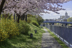 Sakura Flowers. Cherry blossoms gracing the landscape. They are beautiful but lasted only a week Stock Image