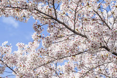 Sakura Flowers. Cherry blossoms gracing the landscape. They are beautiful but lasted only a week Royalty Free Stock Images
