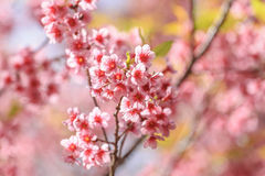 Sakura flowers Royalty Free Stock Photo