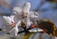 Sakura flowers, close-up Stock Images