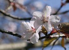 Sakura flowers, close-up Royalty Free Stock Photo