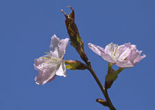 Sakura flowers, close-up Royalty Free Stock Photos