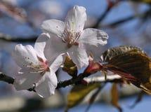 Sakura flowers, close-up Royalty Free Stock Image