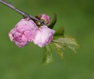 Sakura flowers close-up Stock Images
