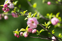Sakura flowers Stock Photo
