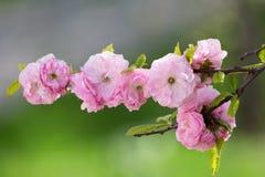 Sakura flowers Stock Images