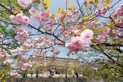 Sakura flowers Royalty Free Stock Photography
