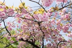Sakura flowers Royalty Free Stock Photos