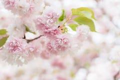 Sakura flowers Stock Photos