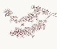Sakura flowers drawing Stock Images