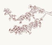 Sakura flowers drawing Stock Images