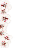 Sakura Flowers, Floral Banner for Springtime Royalty Free Stock Image