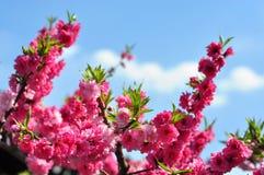 Sakura flowers in the garden Royalty Free Stock Photos