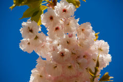 Sakura. Flowers in Garden of Europe, Keukenhof , Holland Stock Image