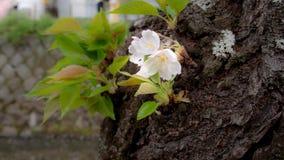 Sakura Flowers Hanging op de Boomstam royalty-vrije stock afbeelding