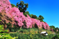 Sakura flowers and a hut Royalty Free Stock Photo