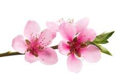 Sakura flowers isolated. On white background stock photo