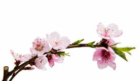 Sakura flowers isolated Royalty Free Stock Photos