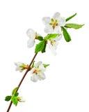 Sakura flowers isolated on white background. Stock Photography