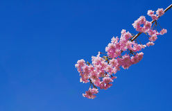 Sakura flowers or Japanese cherry flowers. Sakura flowers on beautiful blue sky background, with copy space Stock Images