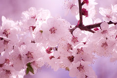 Sakura flowers in the morning Stock Photo
