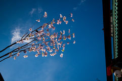 Sakura flowers near Asakusa Temple in Tokyo Royalty Free Stock Photos