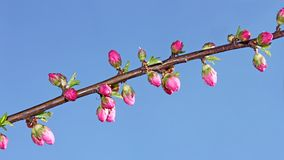 Sakura flowers that opened Stock Photography