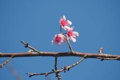 Sakura flowers at Phu Lom Lo, Thailand Royalty Free Stock Photos