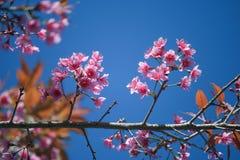 Sakura flowers at Phu Lom Lo, Thailand Royalty Free Stock Photography