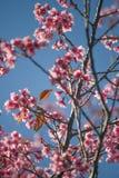 Sakura flowers at Phu Lom Lo, Thailand Stock Image