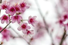 Sakura flowers Stock Images