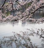 Sakura flowers reflecting in water Royalty Free Stock Photos