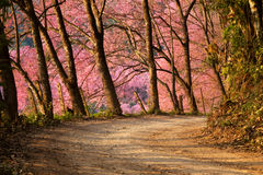 Sakura flowers season Stock Image