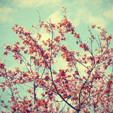 Sakura flowers on sky background Stock Images