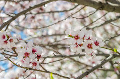Sakura flowers or soft focus cherry blossom on nature background Royalty Free Stock Image