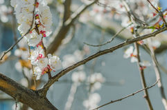 Sakura flowers or soft focus cherry blossom on nature background Royalty Free Stock Photos