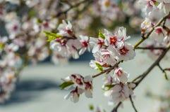 Sakura flowers or soft focus cherry blossom on nature background Stock Photo