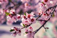 Sakura flowers or soft focus cherry blossom on nature background Stock Image