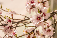 Sakura flowers or soft focus cherry blossom on nature background Royalty Free Stock Photo