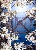 Sakura flowers in Taiwan Royalty Free Stock Photo
