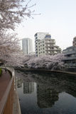 Sakura flowers in Tokyo Royalty Free Stock Photography