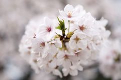 Sakura från det wuhan universitetet Arkivbilder
