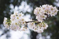 Sakura från det wuhan universitetet Royaltyfria Bilder
