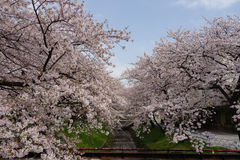 Sakura with Fukaya Station#4. Sakura at JR Fukaya Station , and river royalty free stock photo