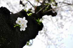 Sakura in full blossom on the trunk Royalty Free Stock Photos