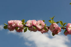 Sakura gałąź Fotografia Stock